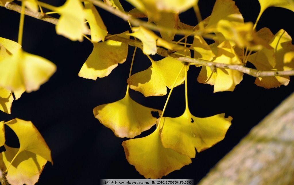 银杏叶 树 秋天 黄色的 树叶 飘落 绿色的 植物 田园的 安静的