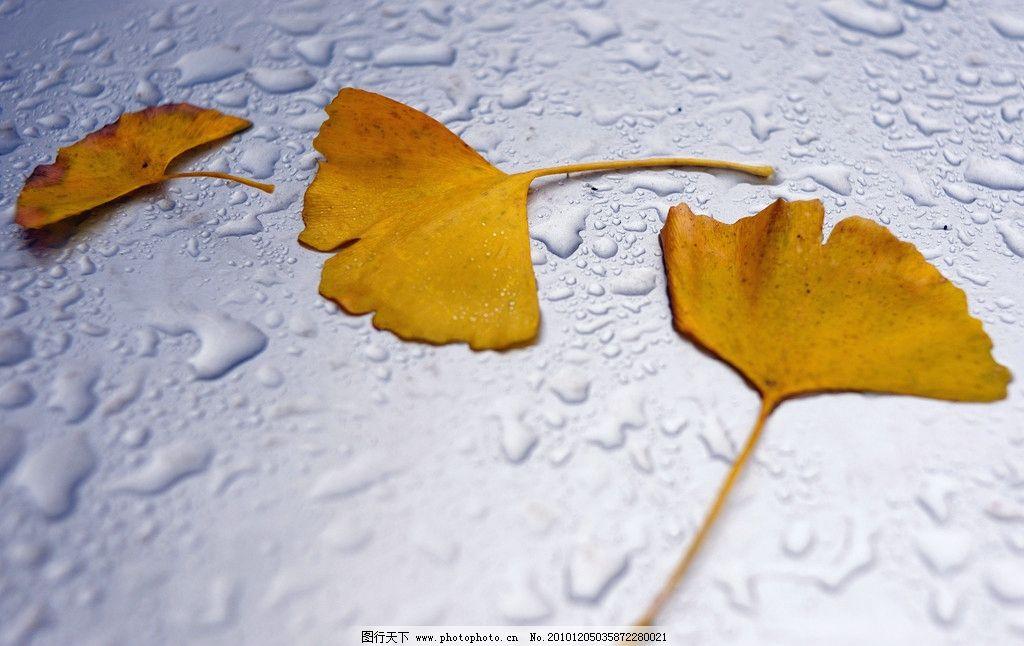 银杏叶 树 秋天 黄色的 树叶 飘落 植物 雨天 安静的 白色的