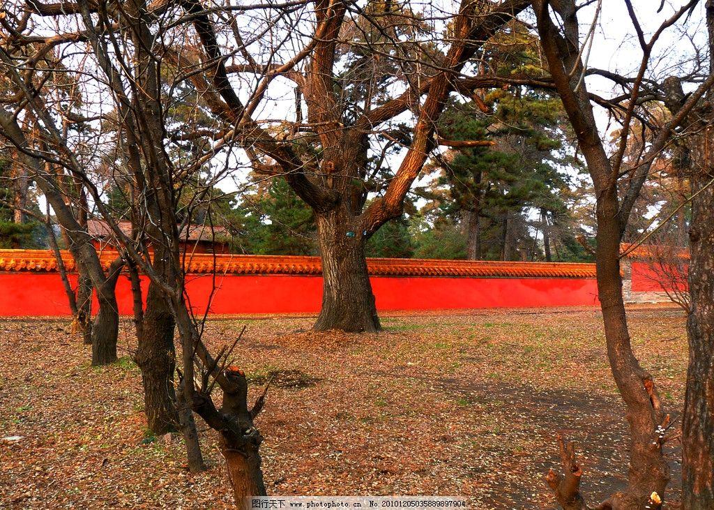 冬天老树 冬天 老树 沈阳东陵 红墙 树干 树枝 树木树叶 生物世界