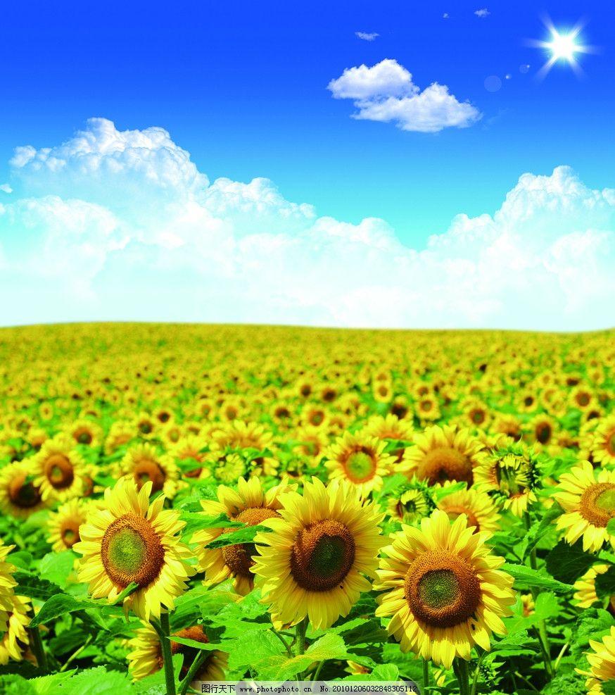 白云 向日葵 葵花 花草 田园 田野 阳光 平原 陆地 风景 风光 大自然