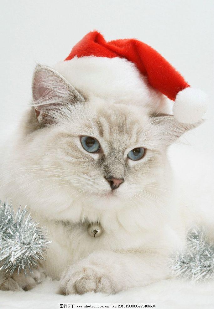 圣诞帽肥猫图片