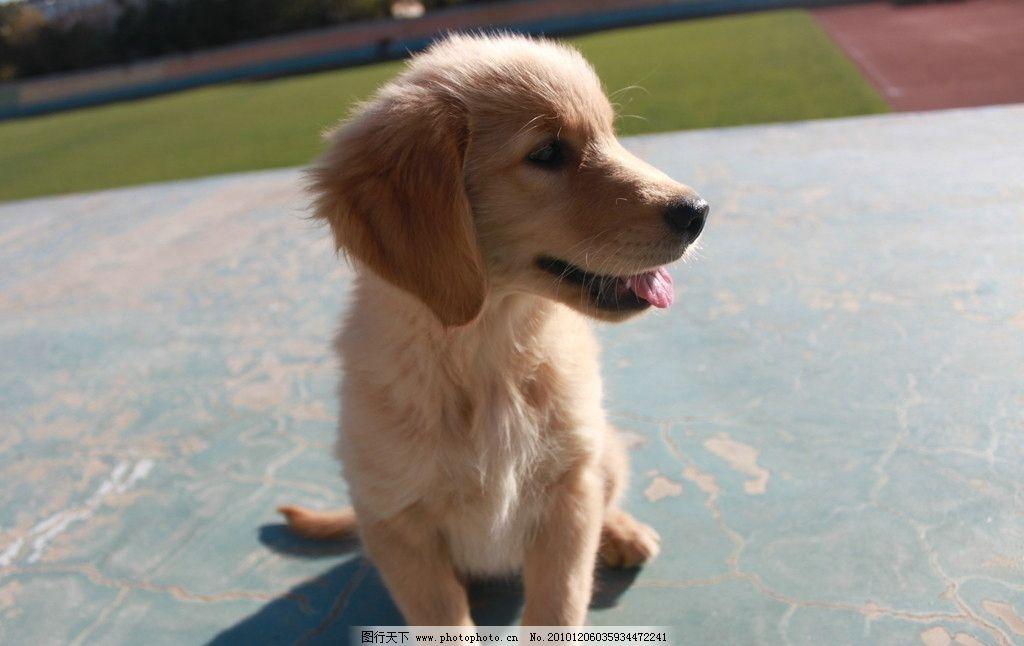金毛小狗图片