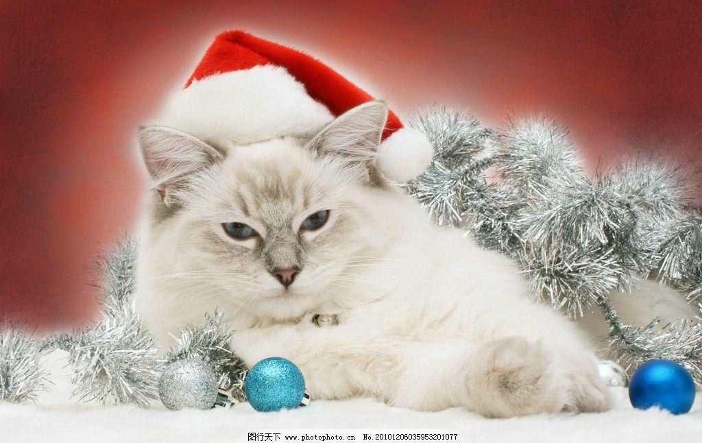 圣诞肥猫 肥猫 可爱猫 圣诞帽 圣诞球 家禽家畜 生物世界 摄影 300dpi