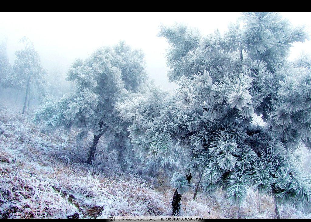 松树冬天的变化