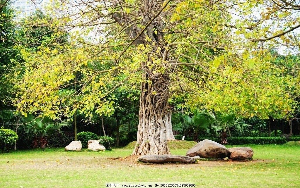 一棵树 大树 巨树 石头 怪石 黄叶 落叶 草坪 自然风景 自然景观 摄影