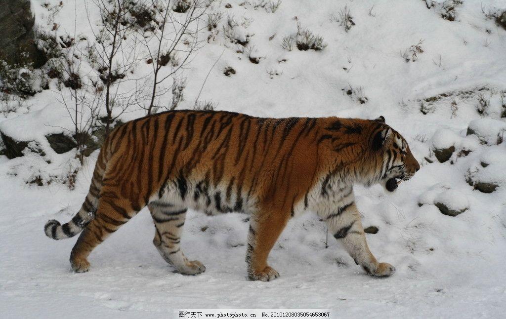 西部利亚虎 野生动物 动物摄影 猫科动物 老虎 西伯利亚 雪地