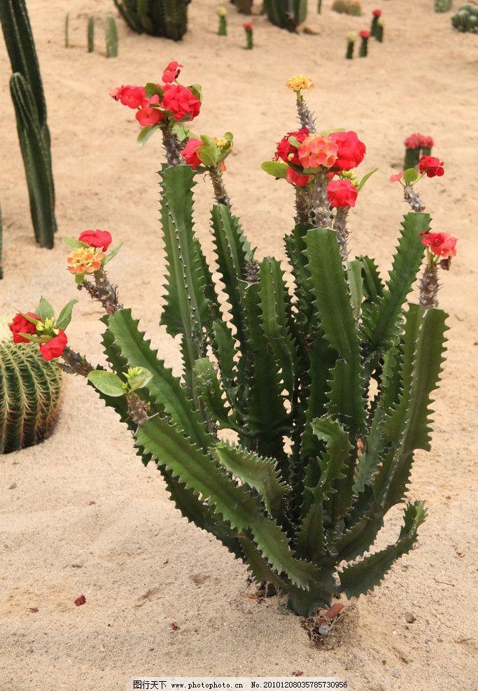 仙人掌开花 植物 花草 绿叶 红花 温室 绿植 仙人掌 沙漠 开花 生物