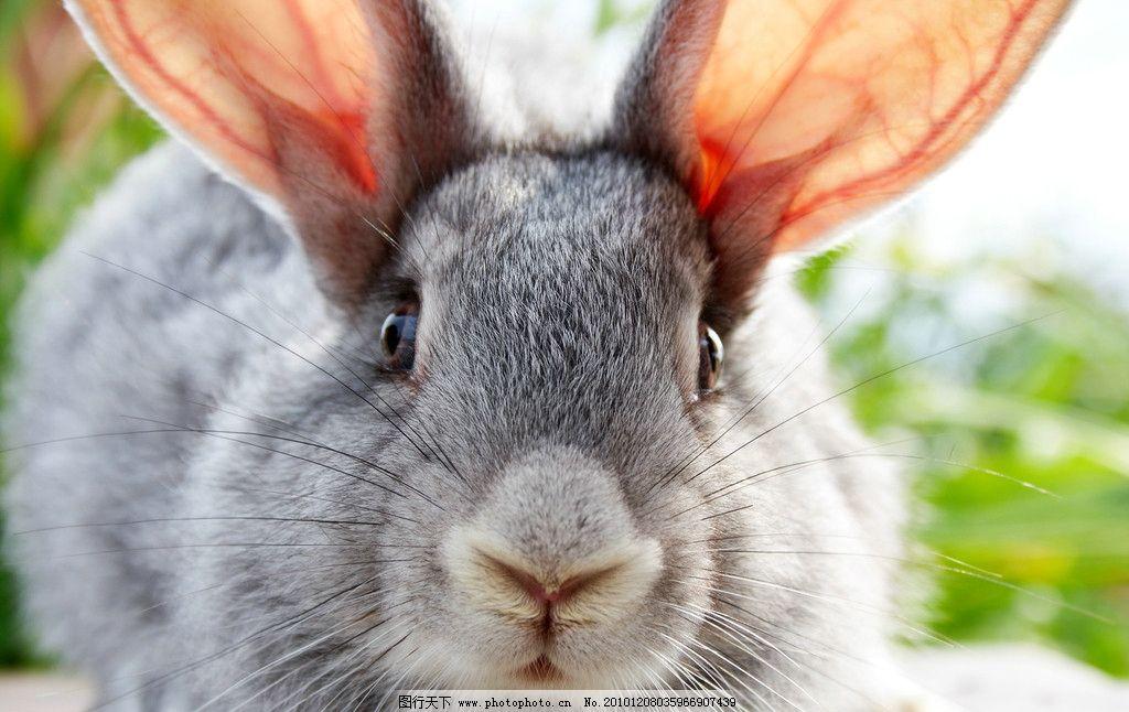 灰兔子 兔子 动物 可爱兔子 兔年素材 家禽主题 家禽家畜 生物世界