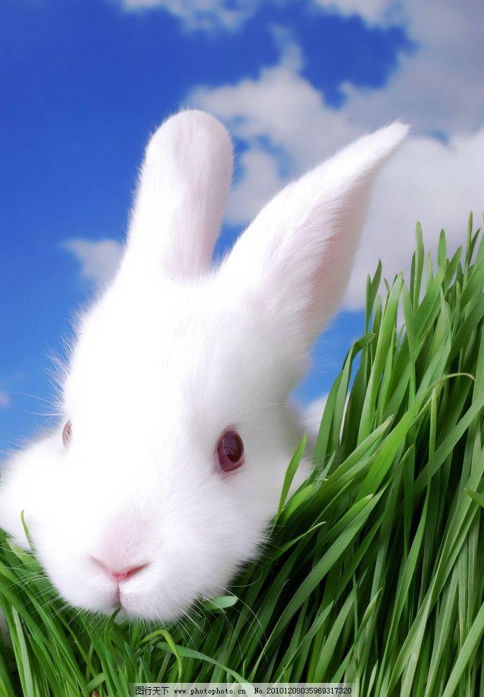 雪白兔子 兔子 动物 可爱兔子 兔年素材 绿草 蓝天白云 家禽主题 家禽
