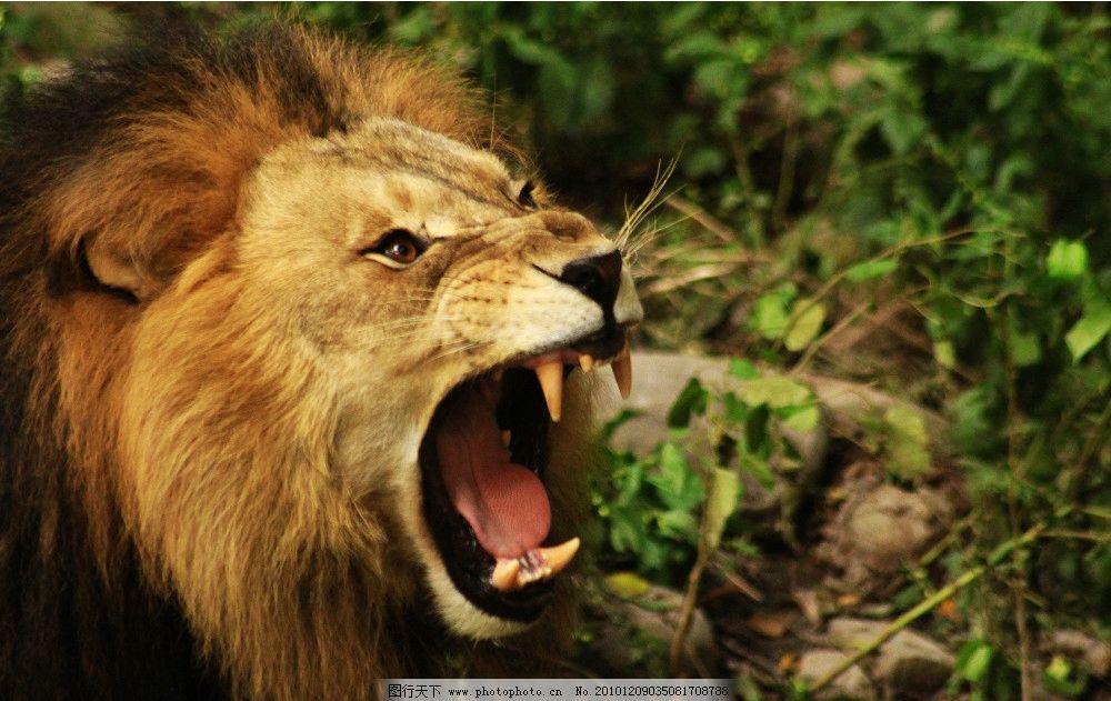 狮子 血盆大口 牙齿 头 棕色 猛兽 野生动物 生物世界 摄影 72dpi jpg