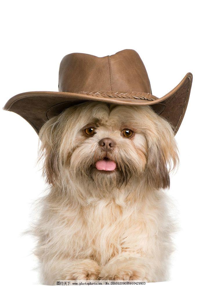 小狗 狗 可爱的狗 丝毛狗 帽子 宠物 家禽家畜 生物世界 摄影 300dpi