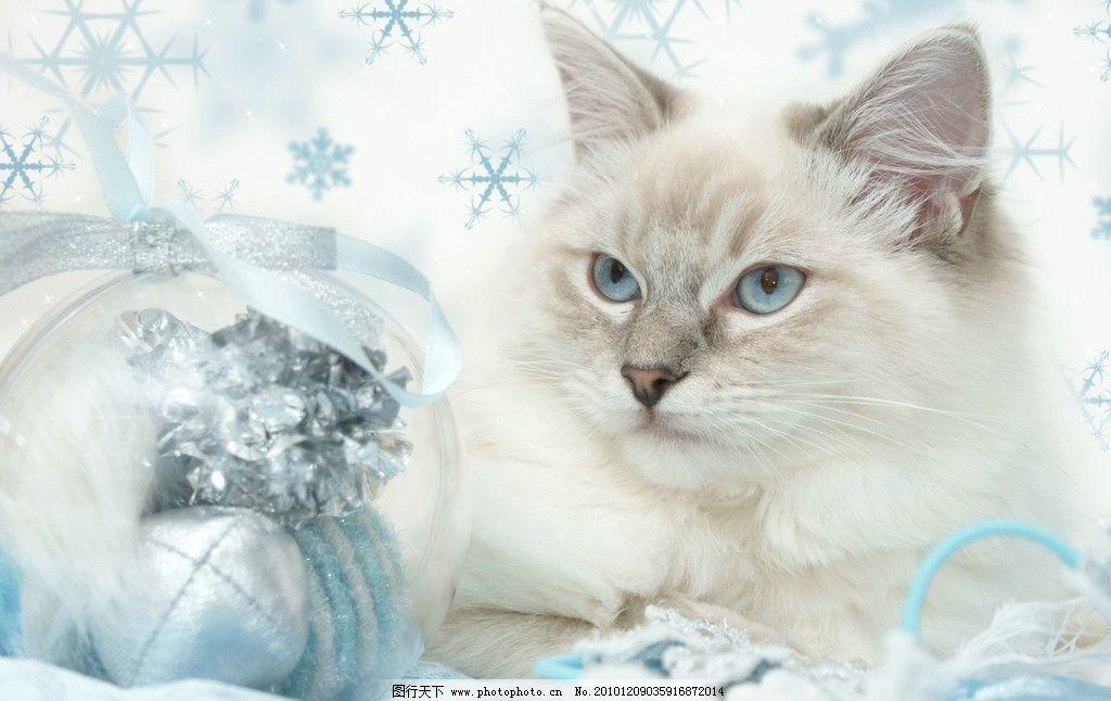 圣诞猫 猫咪 猫 懒猫 可爱的小猫 小猫 趴着的猫 宠物 家禽家畜 动物