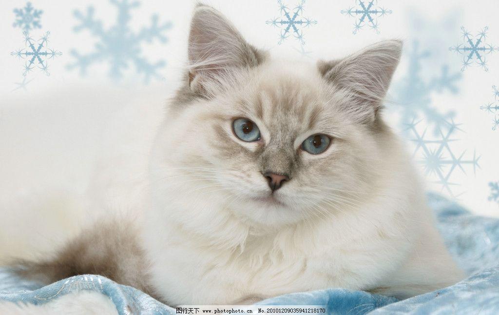 可爱的小猫 猫咪 懒猫 趴着的猫 宠物 动物 丝带 雪花图案 圣诞猫