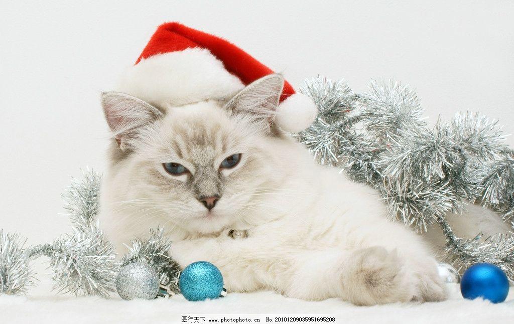 猫咪 猫 懒猫 可爱的小猫 小猫 趴着的猫 宠物 家禽家畜 动物 丝带 雪