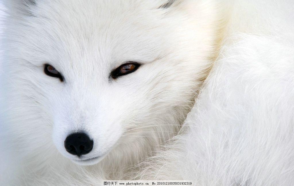 狐狸动物萌图动态