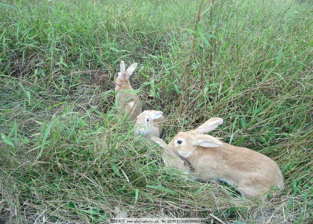 免子 野兔 野生动物 生物世界 摄影 300dpi jpg