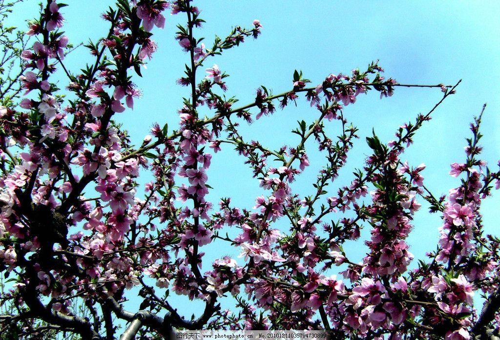 桃花盛开 桃花 田园风光 盛开 春天 花草植物 花草 生物世界 摄影 72