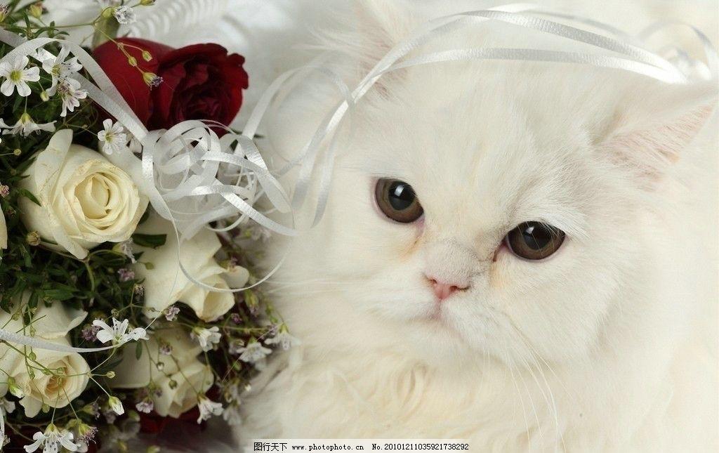 玫瑰与白猫 小白猫 玫瑰 节日庆祝 家禽主题 家禽家畜 生物世界 摄影
