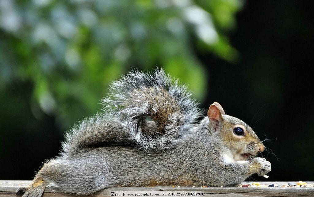 松鼠 趴着 吃东西 小松鼠 脯乳动物 野生动物 生物世界 摄影 300dpi