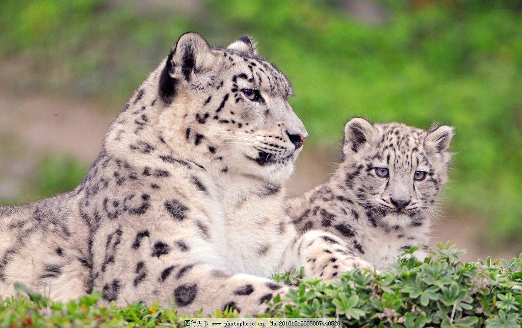 雪豹 豹子 花豹 小豹 母豹 脯乳动物 猫科动物 野生动物 生物世界