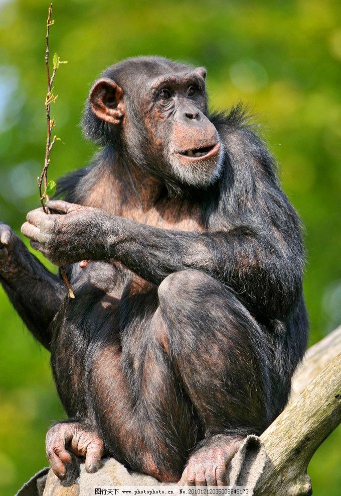 猩猩 黑猩猩 吃东西 脯乳动物 野生动物 生物世界 摄影