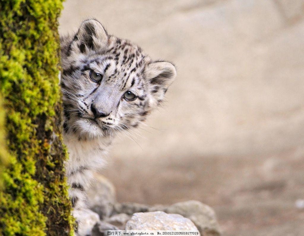 雪豹 豹子 花豹 小豹 脯乳动物 猫科动物 野生动物 生物世界 摄影 300