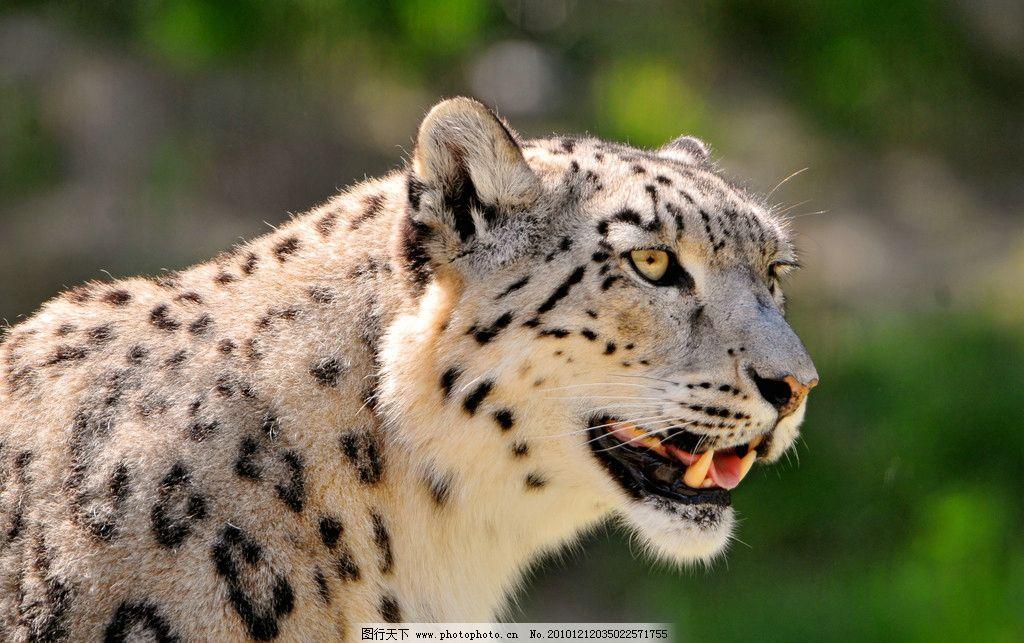雪豹 豹子 花豹 母豹 脯乳动物 猫科动物 野生动物 生物世界 摄影 300