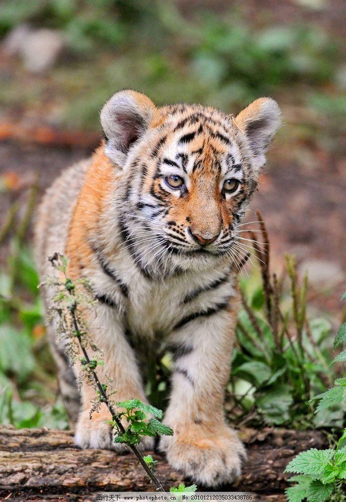 老虎 东北虎 华南虎 走动 幼虎 脯乳动物 全身 野生动物 生物世界