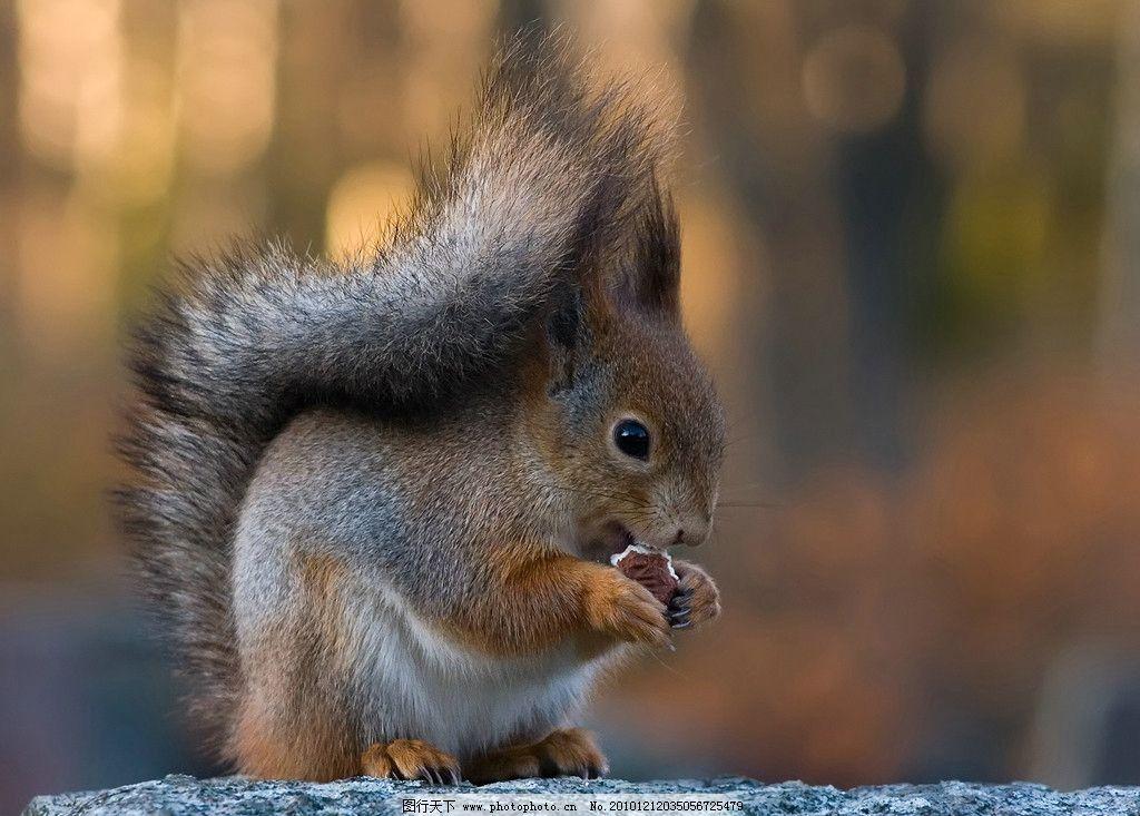 松鼠 小松鼠 全身 吃东西 可爱 棕色 脯乳动物 野生动物 生物世界