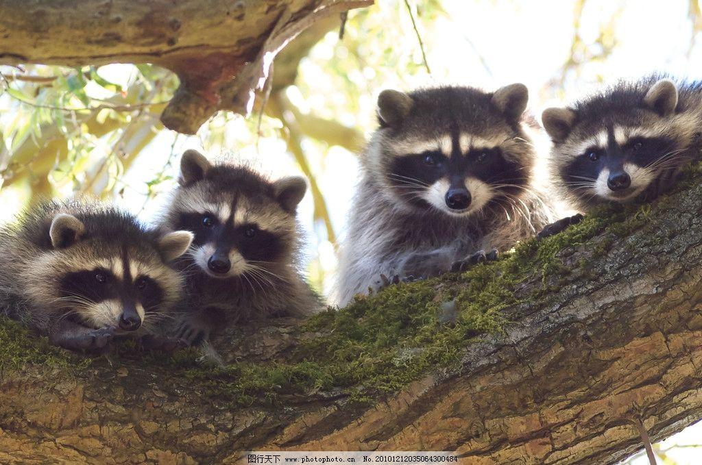 浣熊 小熊 脯乳动物 四只 趴着 野生动物 生物世界 摄影 72dpi jpg