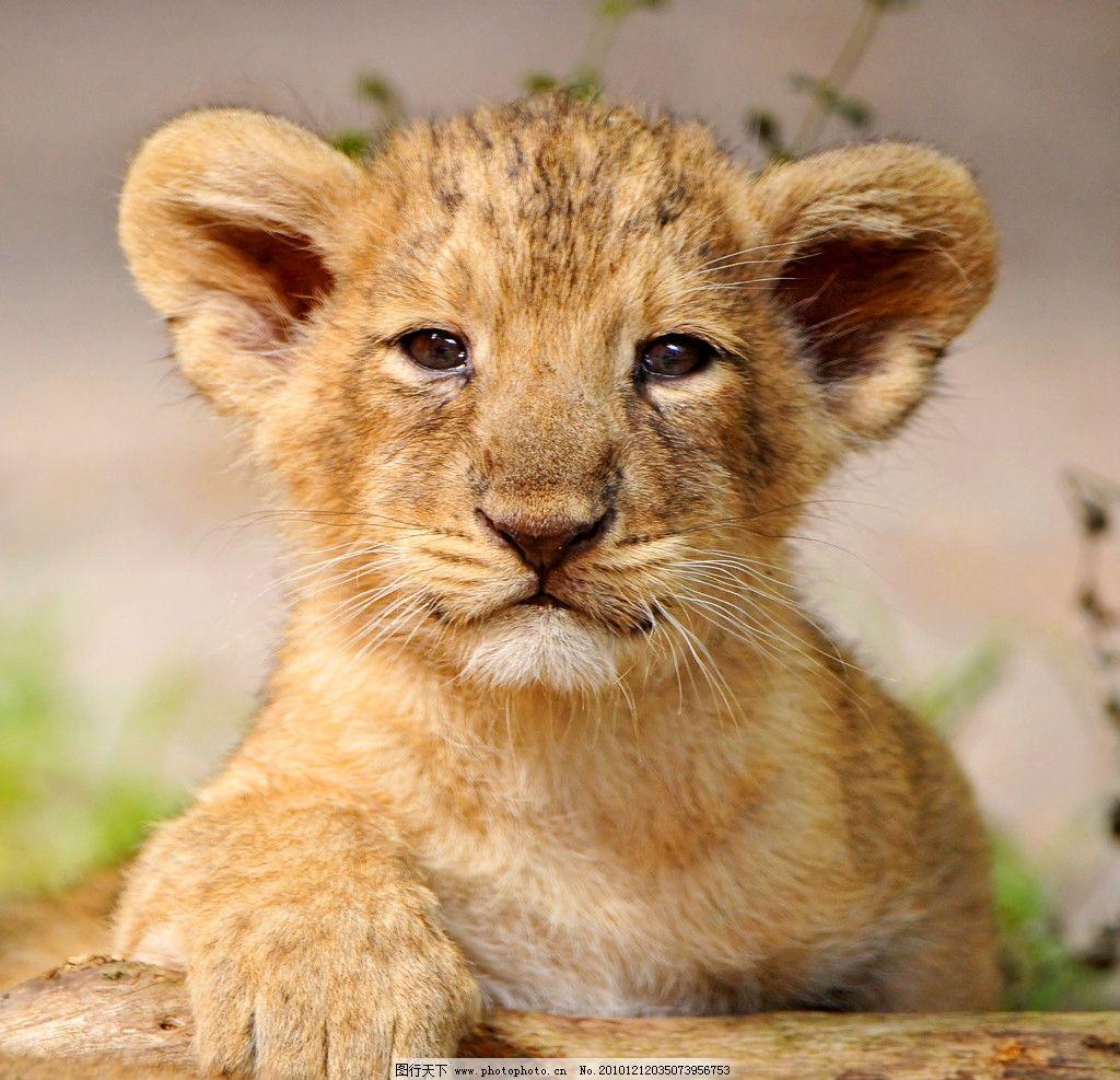 幼狮 小狮 狮子 脯乳动物 正面 摄影