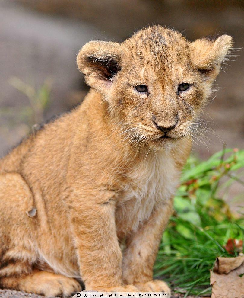 幼狮 小狮 狮子 脯乳动物 坐着 野生动物 生物世界 摄影