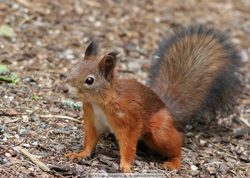 松鼠 小松鼠 全身      可爱 棕色 脯乳动物 野生动物 生物世界 摄影