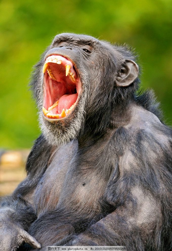 猩猩 黑猩猩 张嘴 喊叫 脯乳动物 野生动物 生物世界 摄影 300dpi jpg