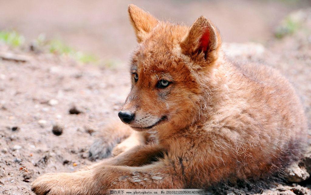 小狼 幼狼 棕色 趴着 脯乳动物 野生动物 生物世界 摄影 300dpi jpg