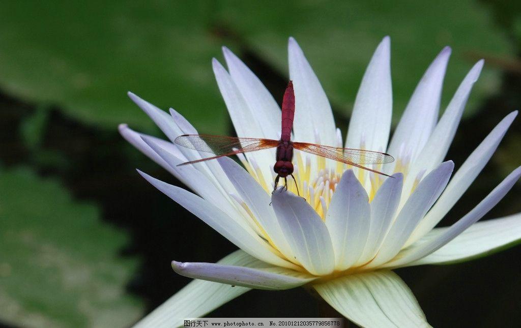 白花 花 风景 水中绿花 荷叶 花草 生物世界 摄影 72dpi jpg