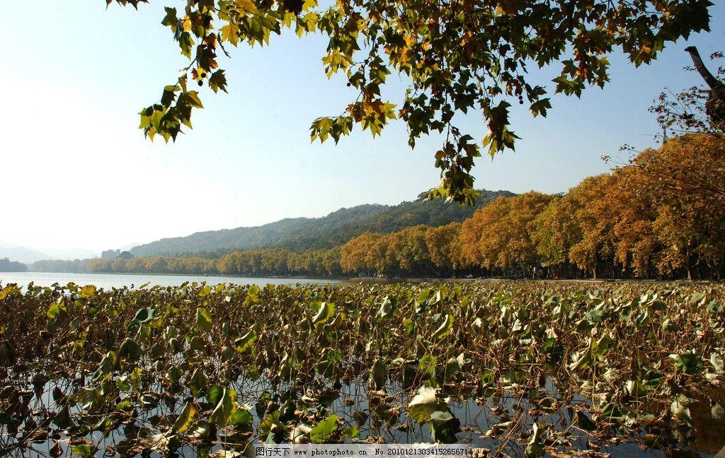 杭州西湖 自然风光 小桥 流水 凉亭 自然景象 风景 湖面 莲花 秋天