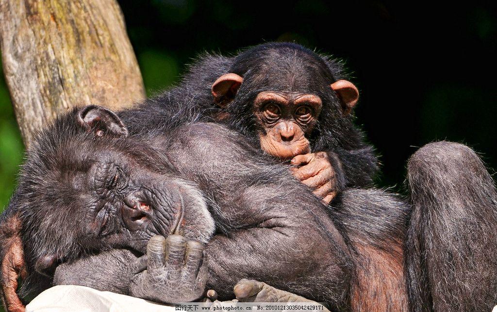 猩猩 大猩猩 小猩猩 黑猩猩 睡觉 脯乳动物 摄影
