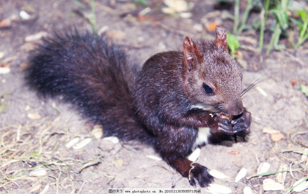 松鼠 小松鼠 可爱小动物 灵活 吃果实的动物 吃东西 野生动物
