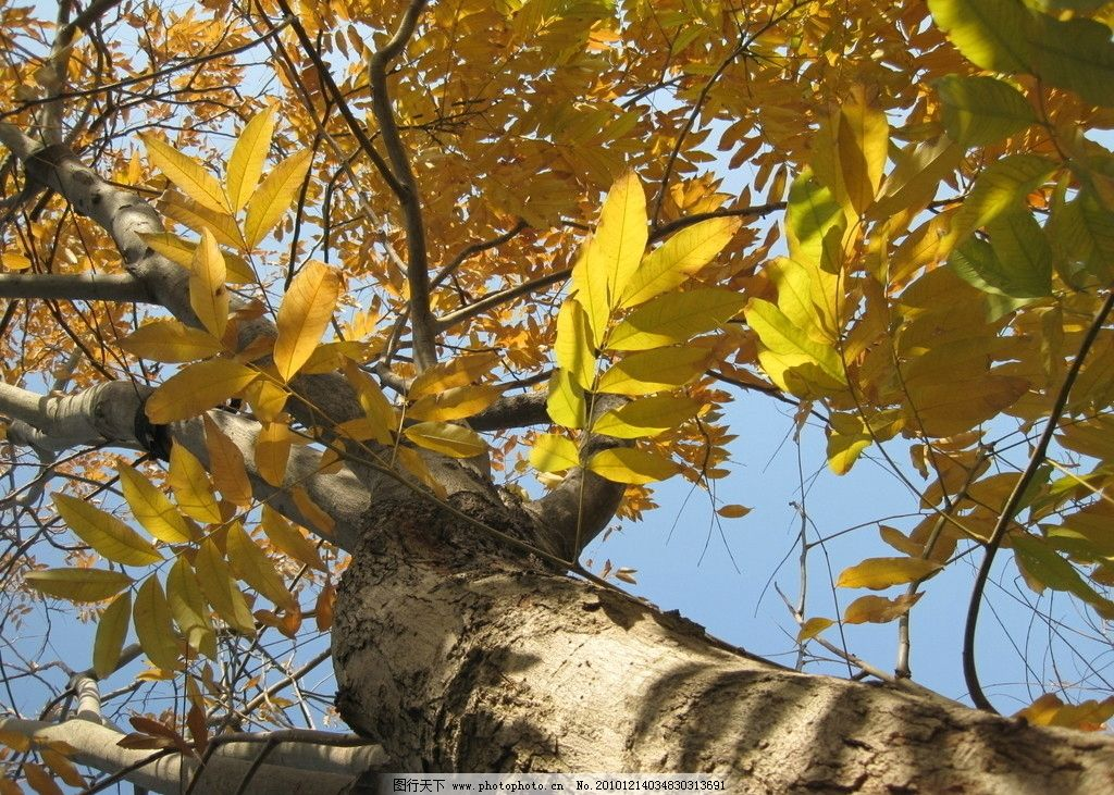 秋天的树 叶子 枯叶 丰收 影子 摄影