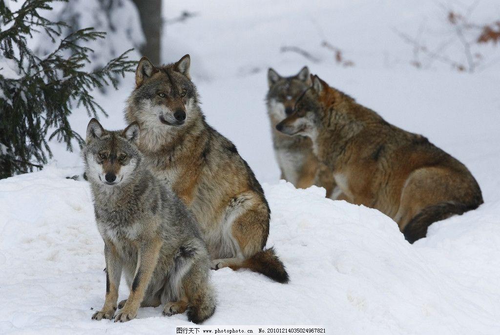 雪地里的狼 狼群 冬季 冬天 野生动物 生物世界 摄影