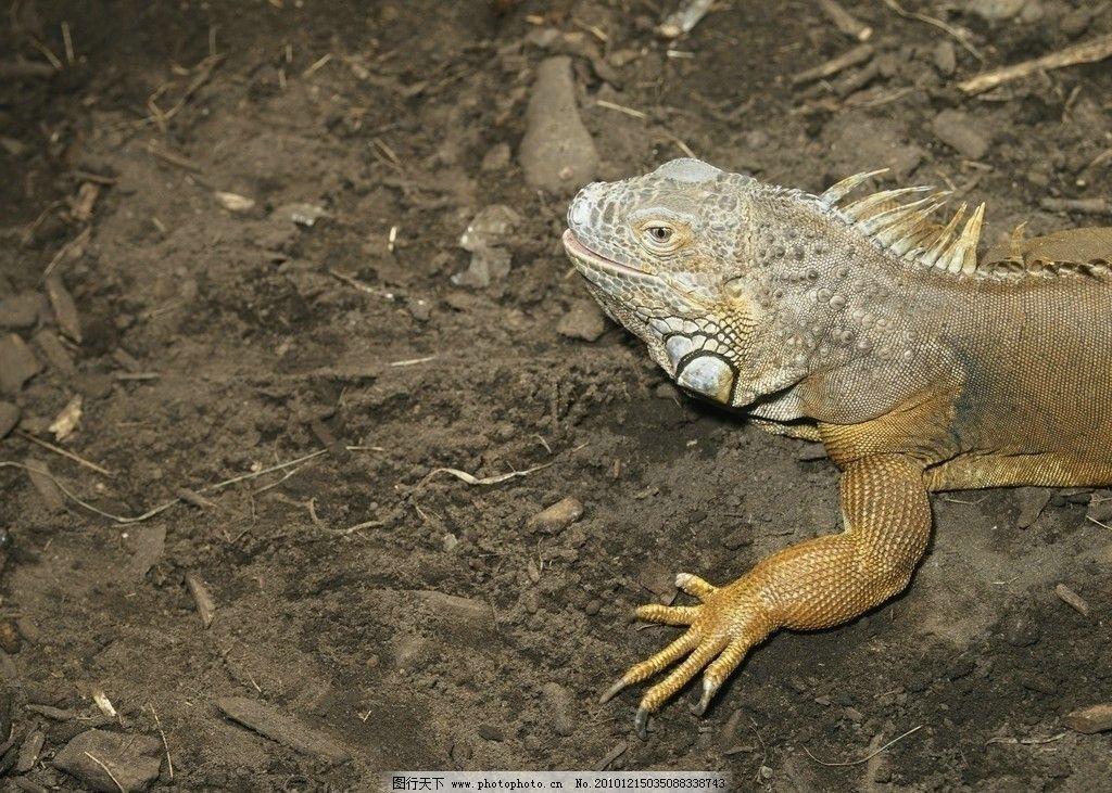 巨蜥 蜥蜴 爬行动物图片