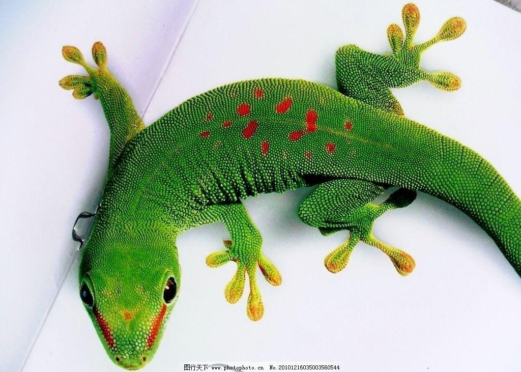 变色龙 野生动物 生物世界 摄影 72dpi jpg