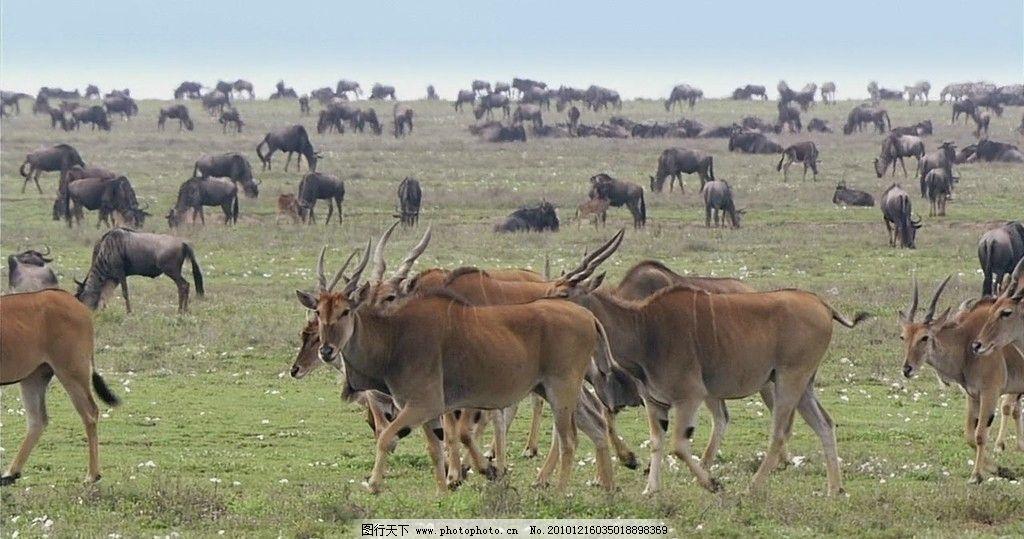 非洲羚牛和角马 非洲 风光