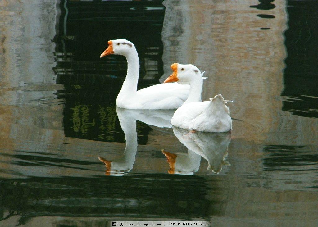 鹅的倒影卡通图片