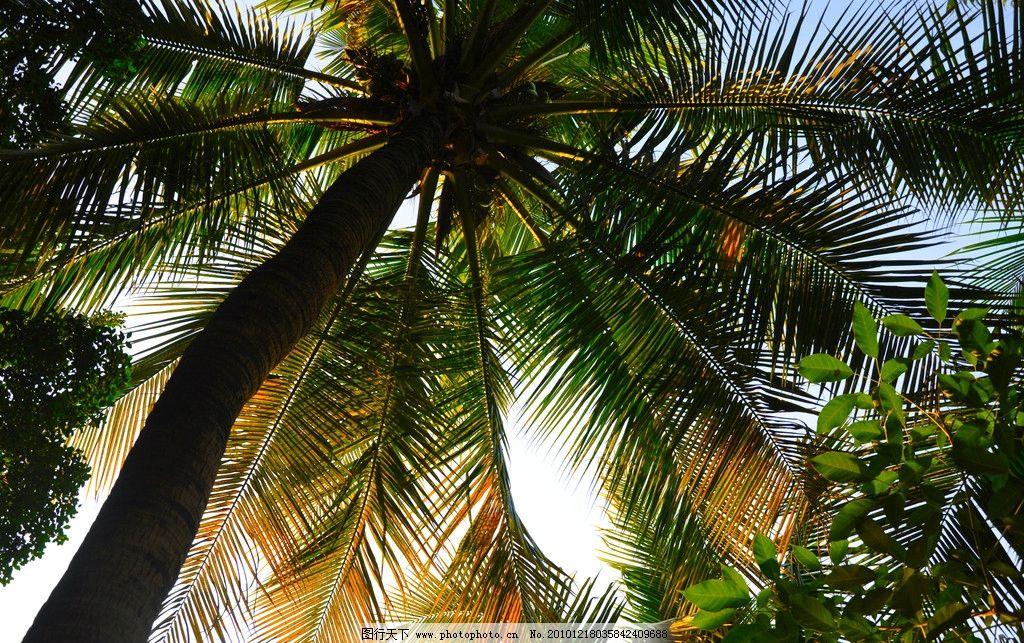 椰子树 数码 大树 叶子 树叶 椰子 树干 蓝天 树木树叶 生物世界 摄影