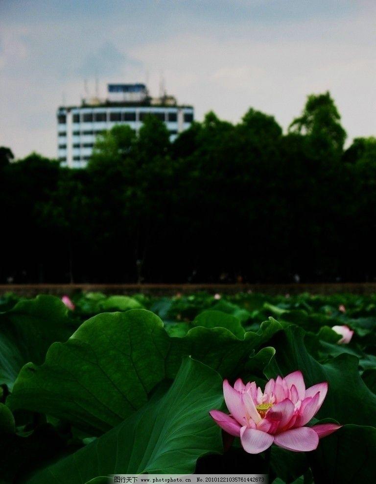荷花 大自然 风景 绿叶 花 自然 景观 花草 生物世界 摄影 180dpi jpg图片