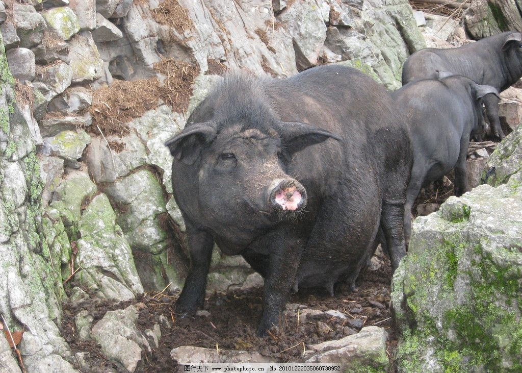 黑土猪 野生动物 生物世界 摄影 300dpi jpg