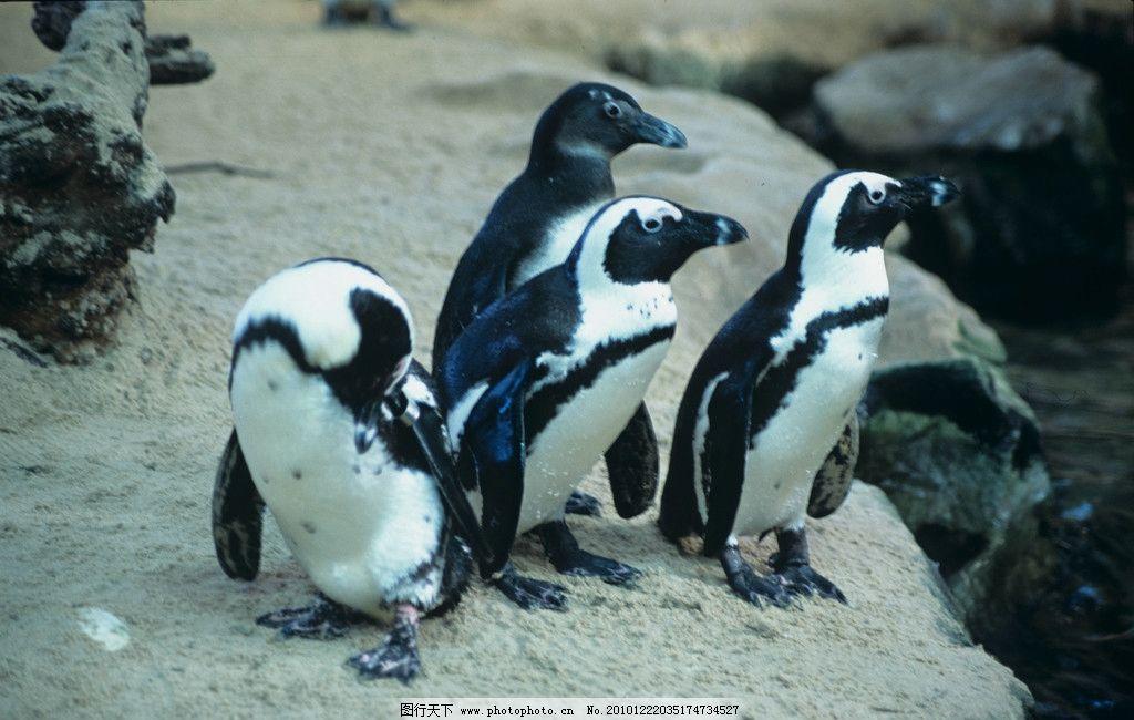 企鹅 可爱 小企鹅 黑白 海洋生物 生物世界 摄影 300dpi jpg