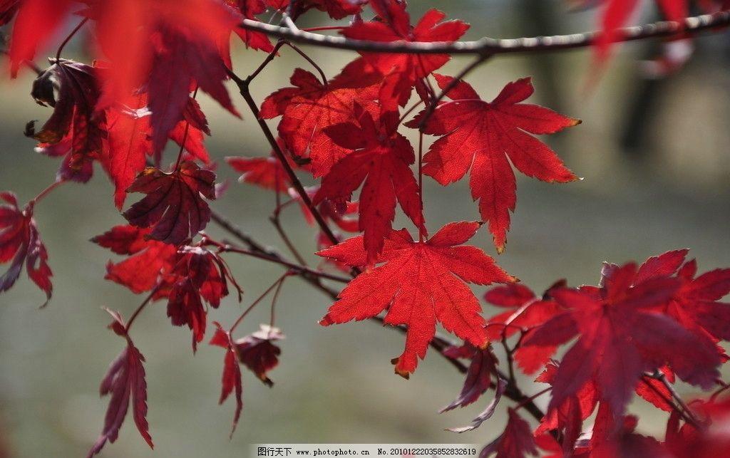 枫叶 红叶 树叶 阳光 树枝 深秋 植物 自然景观 摄影 300dpi 叶子